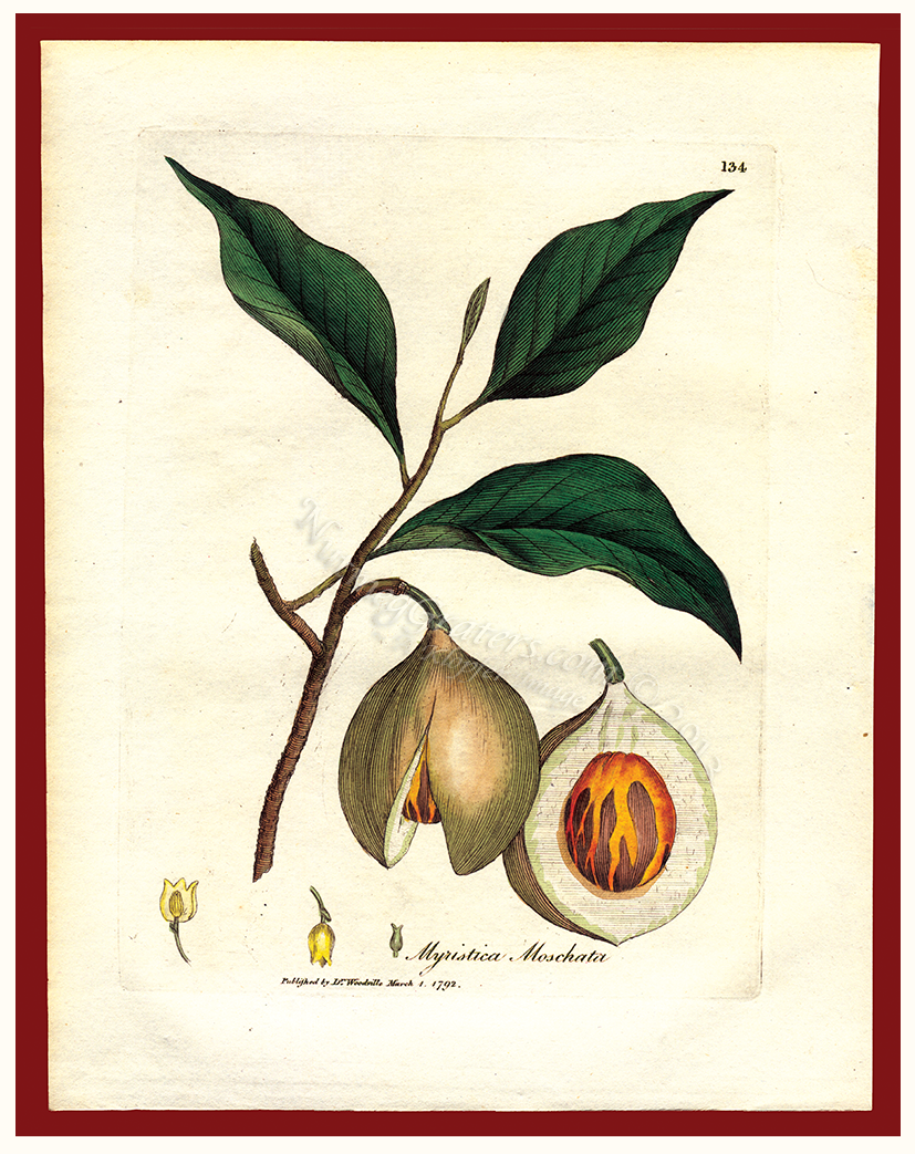Myristica Moschata 1792 by Woodville