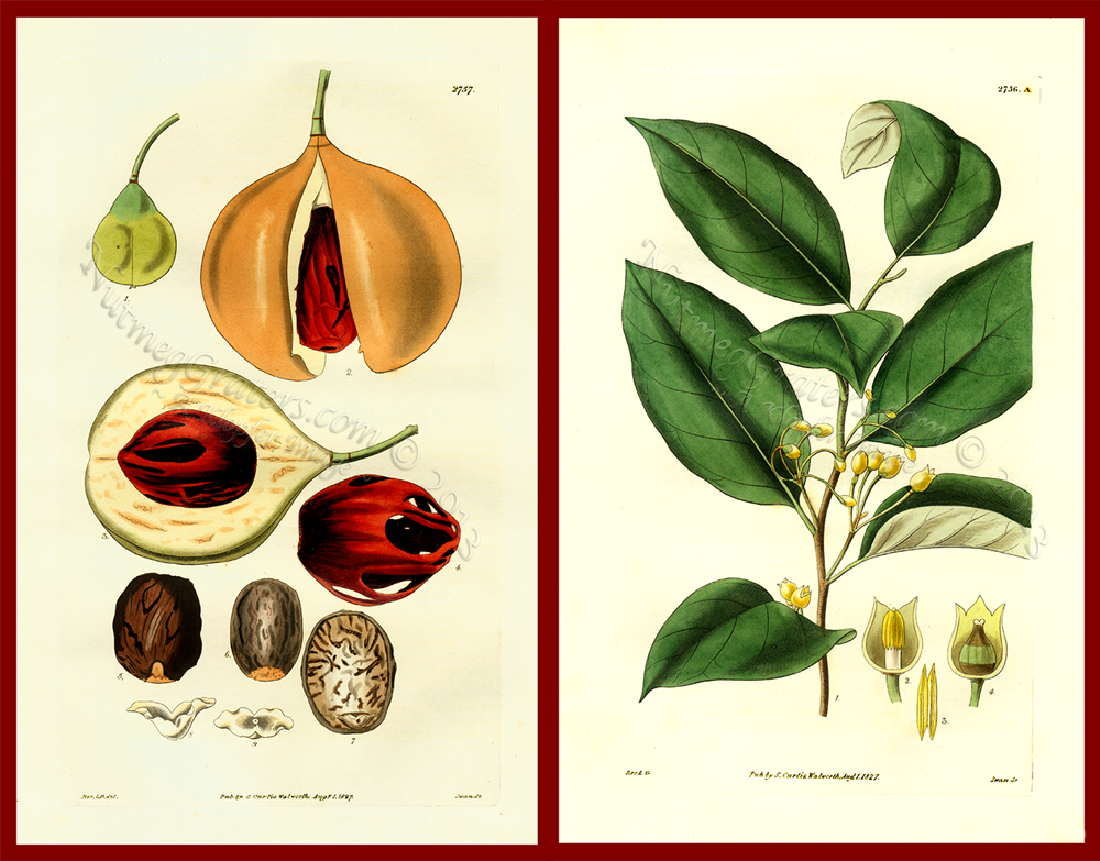 Myristica Officinalis Aromatic 1827 Curtis