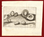 1646 antique print nutmeg by Commelin