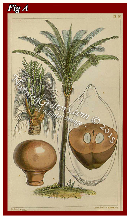 Engraving by Hooker ~ 1849 ~ Coquilla Nut