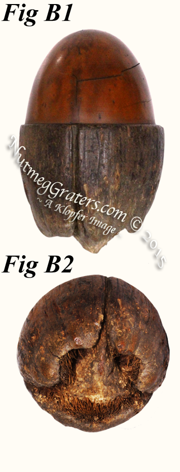 Coquilla nut ~ top is lathed ~ bottom is natural